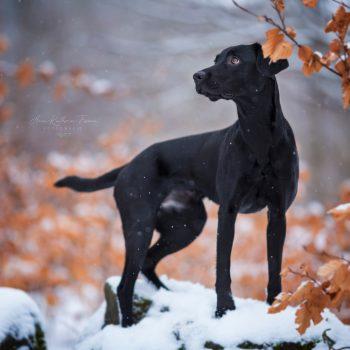 14_Hund_Labrador